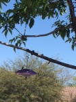 Arizona hummingbird--my muse?