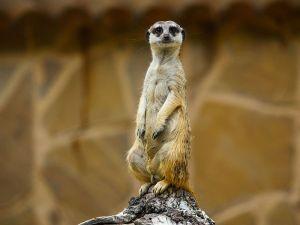Meerkat, marvelling