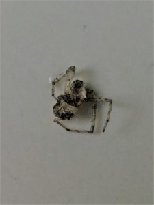 Spider who Fell from the Skylight